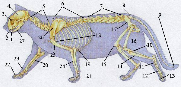 Dearcat´s Anatomie